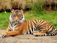 Книги о тигре