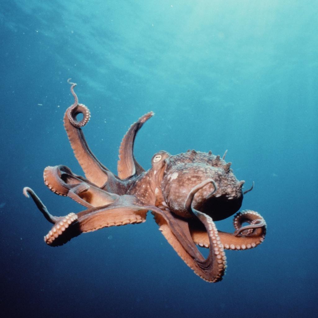 nz_octopus.jpg